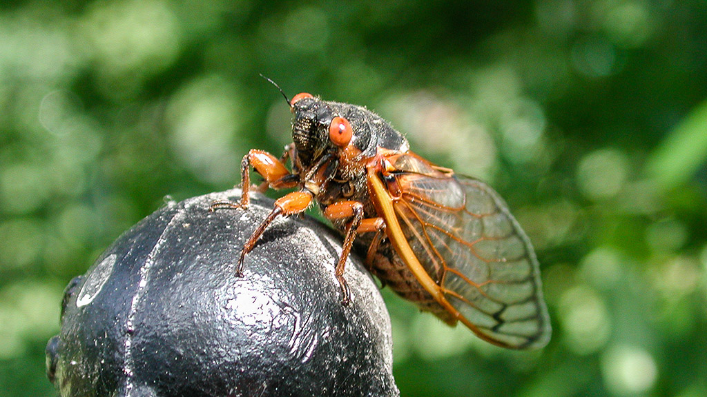 2004-05-15 They're Back! Brood X of the 17-year cicadas returns. Arlington, Virginia
