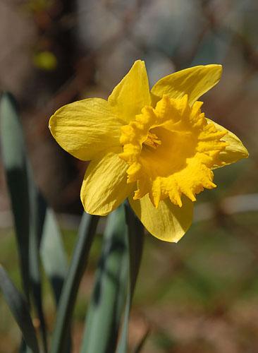 2007-03-25-Backyard-Daffodil.jpg