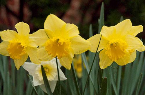 2010-03-26-Daffodils.jpg