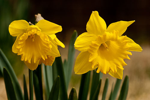 2012-02-23-Early-Daffodils.jpg