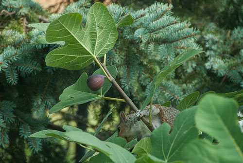 2012-08-24-Squirrel-and-Fig.jpg