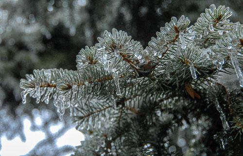 2013-12-09-Ice-Storm-Spruce.jpg