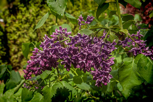 2014-05-01-Dutch-lilac.jpg