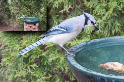 2016-03-31-Bluebird.jpg