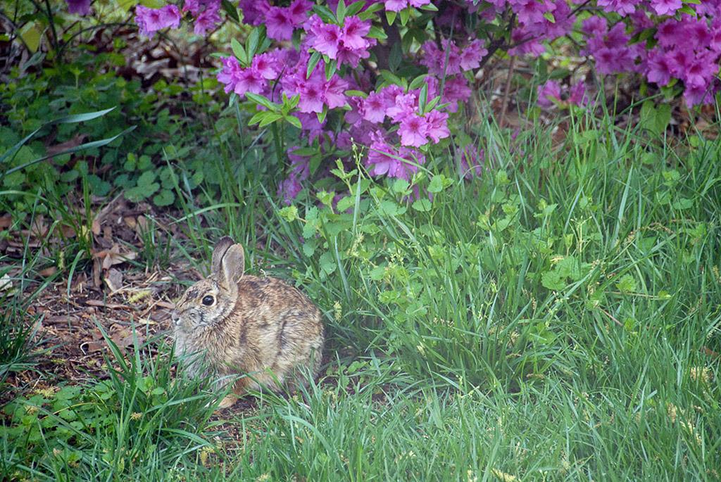 2006-04-26-Rabbit-in-backyard.jpg