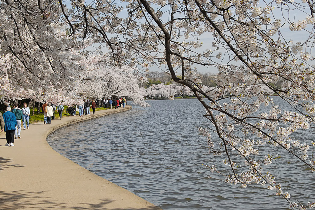 2008-04-20-Cherry-Blossoms.jpg