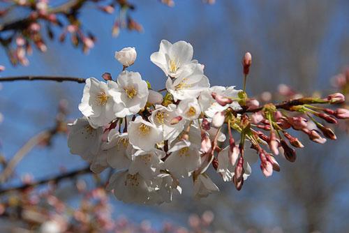 2006-03-27-Cherry-Blossoms.jpg