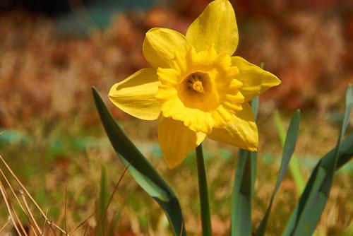 2008-03-16-Daffodil.jpg