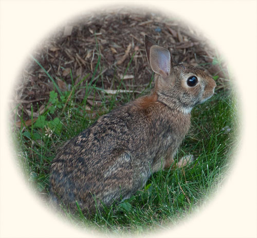 2010-06-10-Neighborhood-Rabbit.jpg
