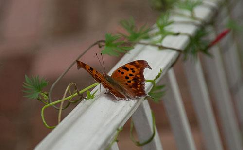 2012-10-08-Papillon-overt.jpg