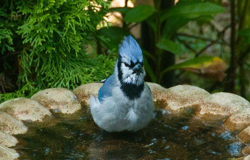 2012-10-14-Blue-Jay.jpg
