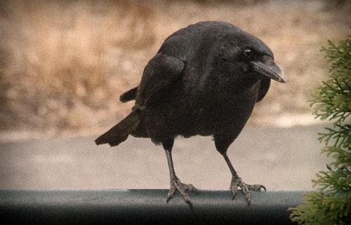 2012-11-12-Old-Crow.jpg