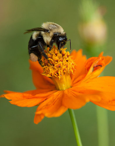2013-07-22-Bumble-Bee.jpg